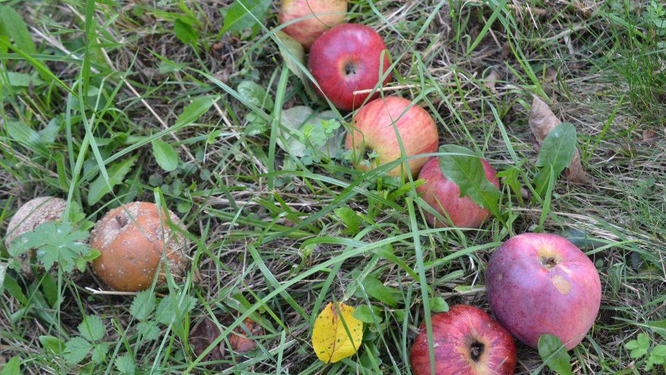 Stačí jedno shnilé jablko na 10 kg zdravých a v moštu bude více aflatoxinů, než kolik by povolovala norma pro průmyslovou výrobu
