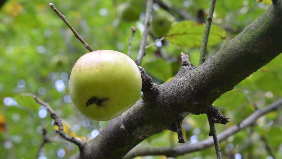 Podzimní odrůdy ovoce mají omezenou trvanlivost, brzy dozrávají
