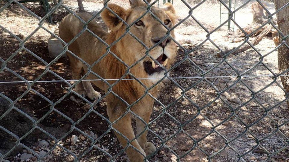 Lvi mají v záchranné rezervaci Ma'wá k dispozici prostorné výběhy