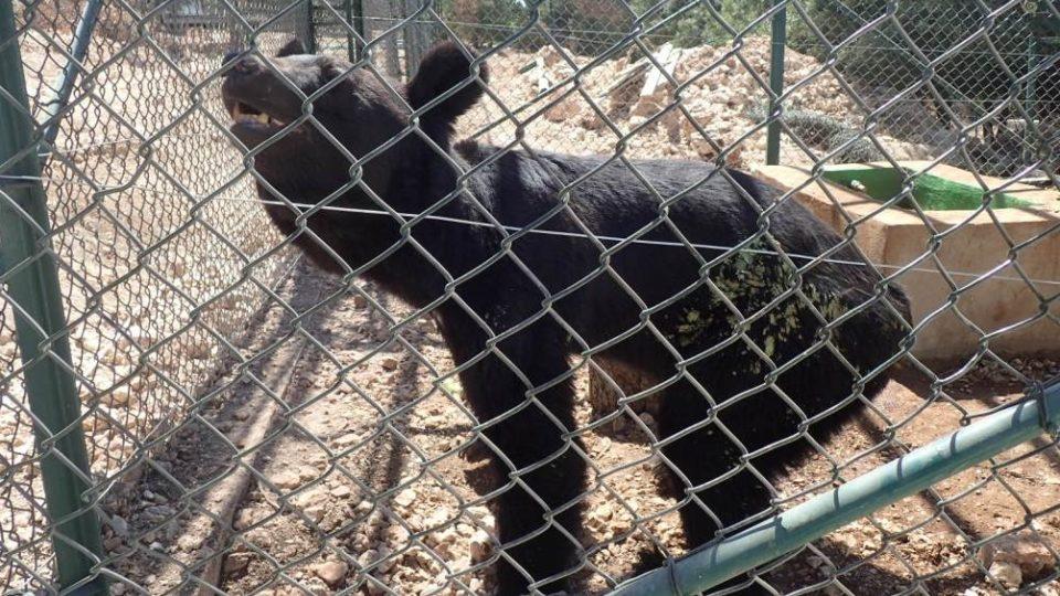 Medvědy přivezli do rezervace rezervaci Ma'wá v zuboženém stavu