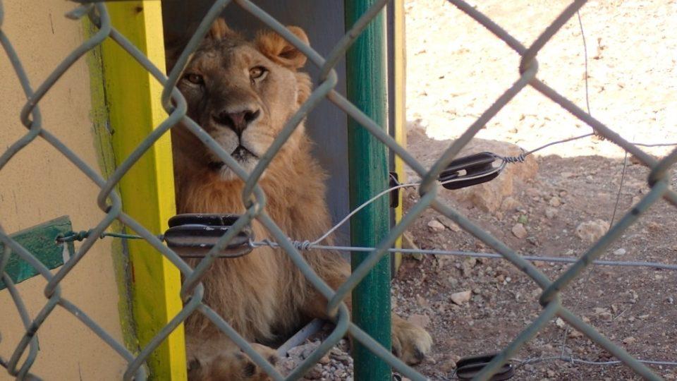 Do vnitřních prostor chodí lvi pouze na jídlo