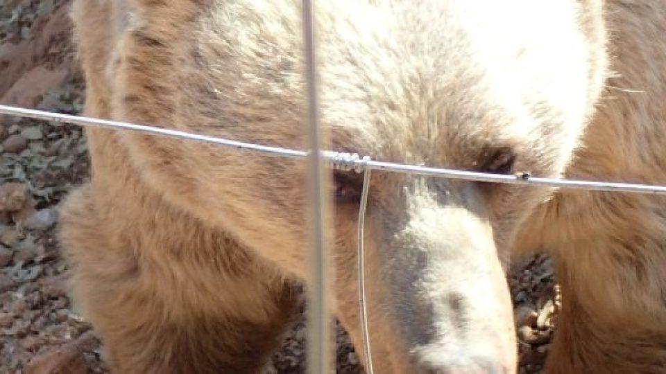 Medvědi jsou všežravci, maso tvoří jen malou část jejich jídelníčku