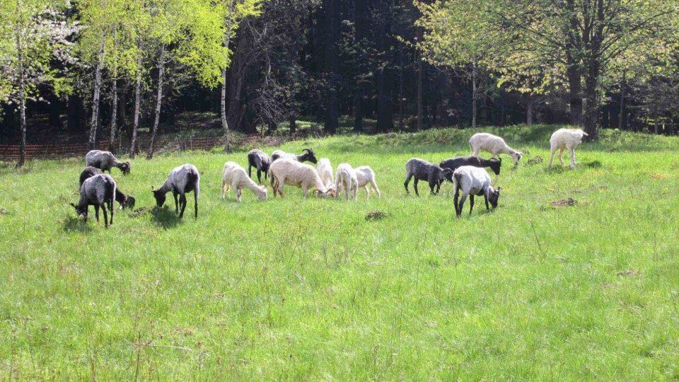 Ovce spásají trávu na motýlí louce