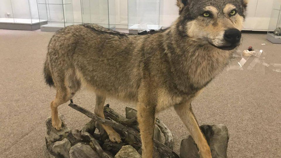 Vlk, Muzeum Vysočina Jihlava