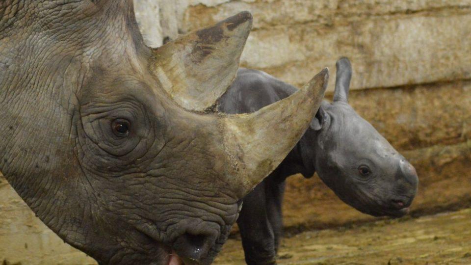 45. nosorožec dvourohý v ZOO Dvůr Králové:je holka