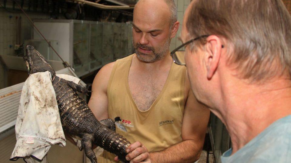 """Mláďata krokodýlů čelnatých mají za sebou čipování. Zoologové jim vystavili něco jako """"rodný list"""""""