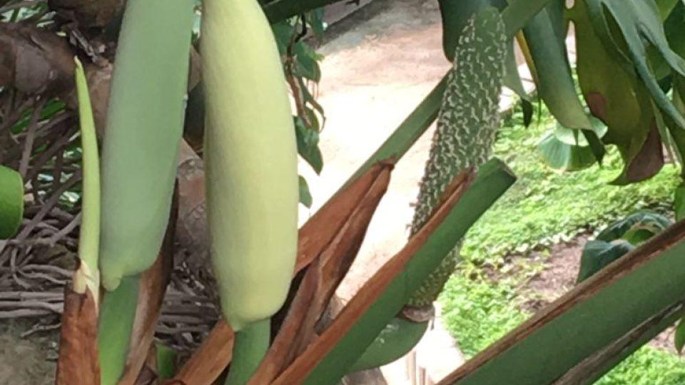 Kvetoucí a plodící monstera skvostná ze Střední Ameriky je z čeledi áronovitých a je silně jedovatá, ale zralý plod je jedlý, velice chutný a v domovině se pro plody pěstuje