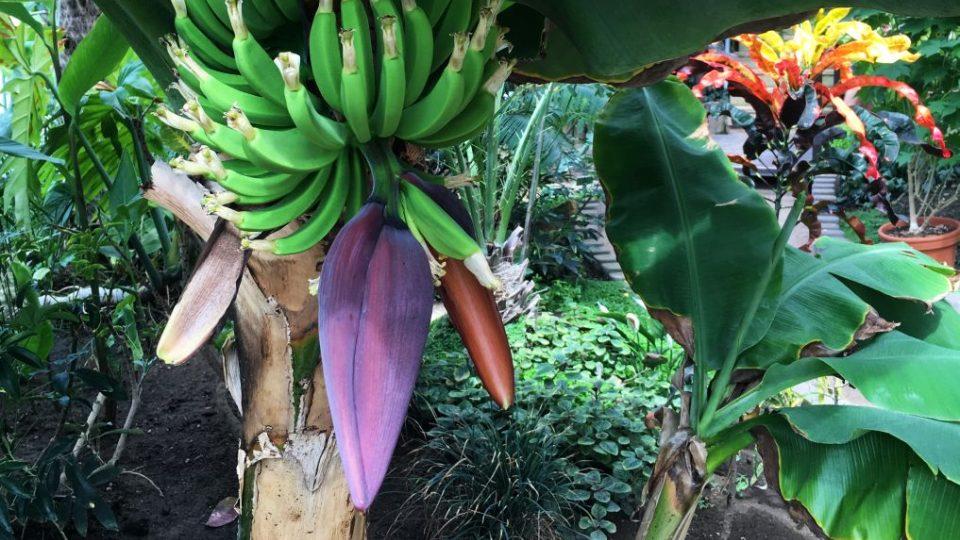 Kvetoucí a plodící banánovník