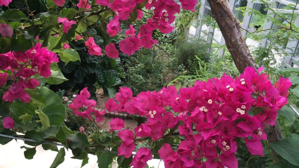 Kvetoucí pnoucí liána bugenvilea lysá s nápadně purpurově zbarvenými listeny