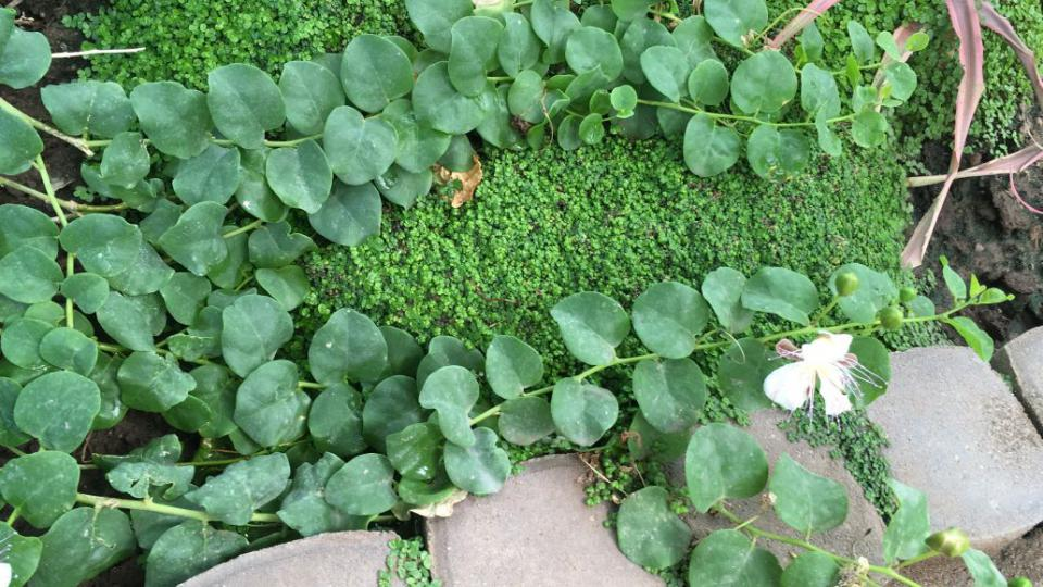 Plazivě rostoucí kapary trnité s nápadným bílým čtyřčetným květem. Uzavřená zelená květní poupata se ve Středomoří sbírají a nakládají do nálevu z vinného octa, soli nebo vína