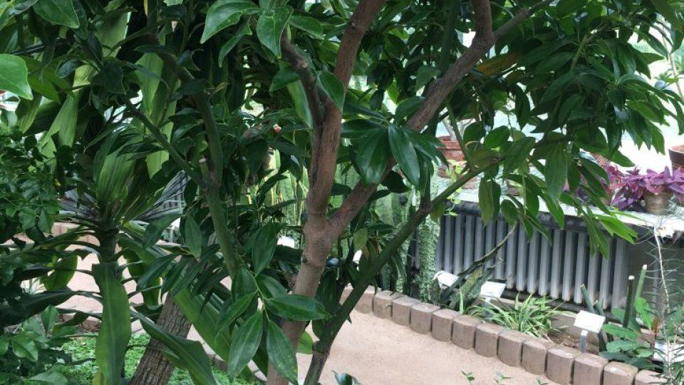 Skořicovník pravý neboli cejlonský z jihovýchodní Asie se pěstuje kvůli kůře. Skořice zlepšuje chuť k jídlu a podporuje trávení