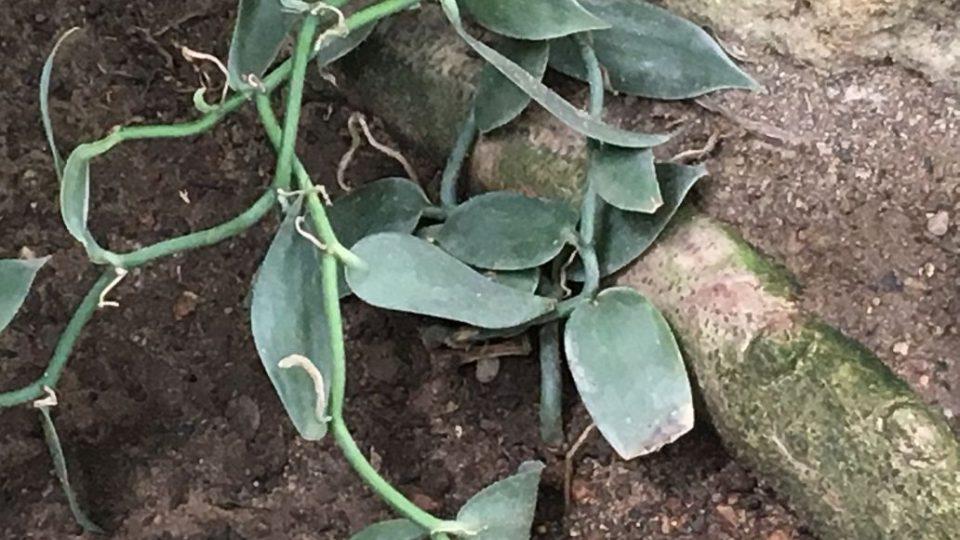 Vanilovník širokolistý je epifytická liánovitá orchidej se vzdušnými kořeny, která se pěstuje pro tobolky, které se sušené používají jako koření vanilka