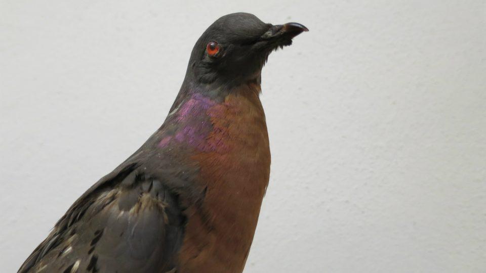 Vycpaný exemplář vyhynulého holuba stěhovavého