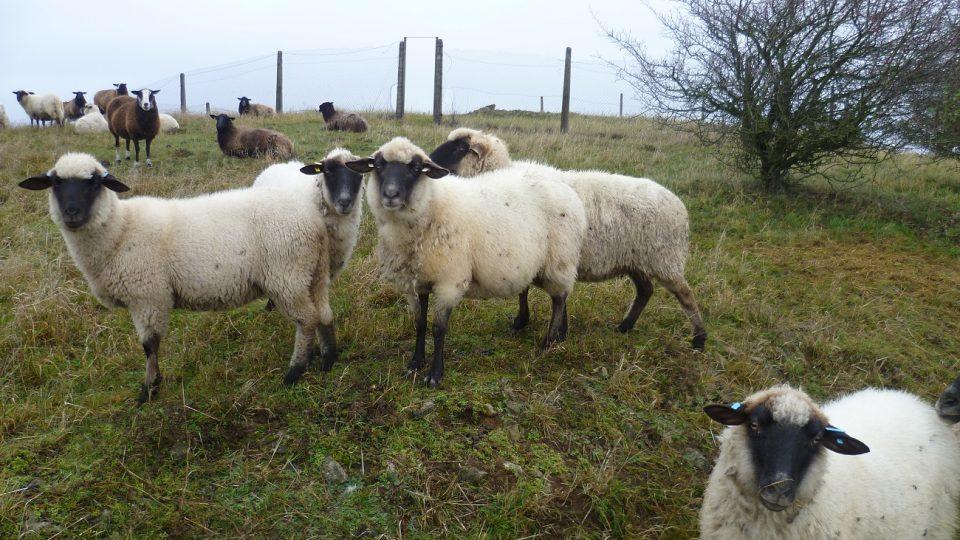 Na Salátově kopci se pasou ovce