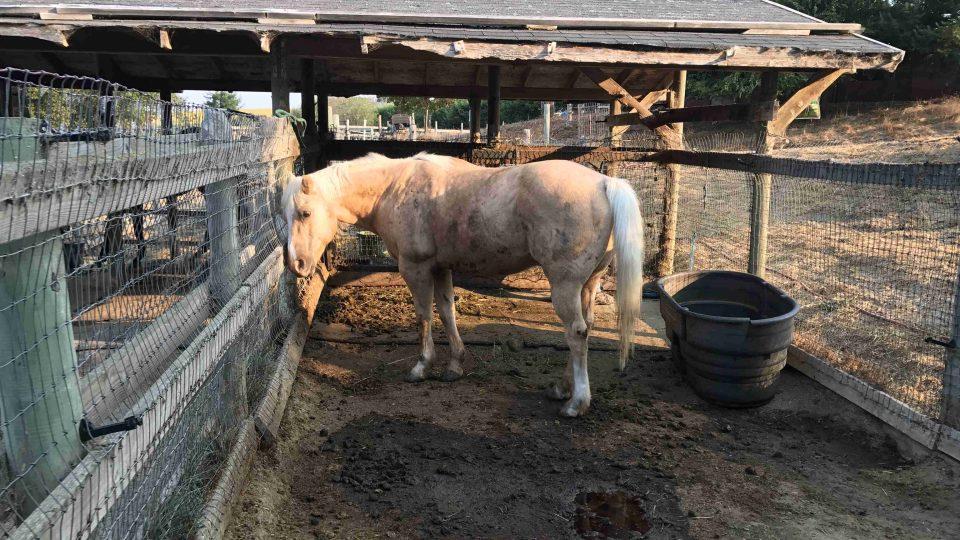 Týraní koně si na dobré zacházení zvykají jen pomalu