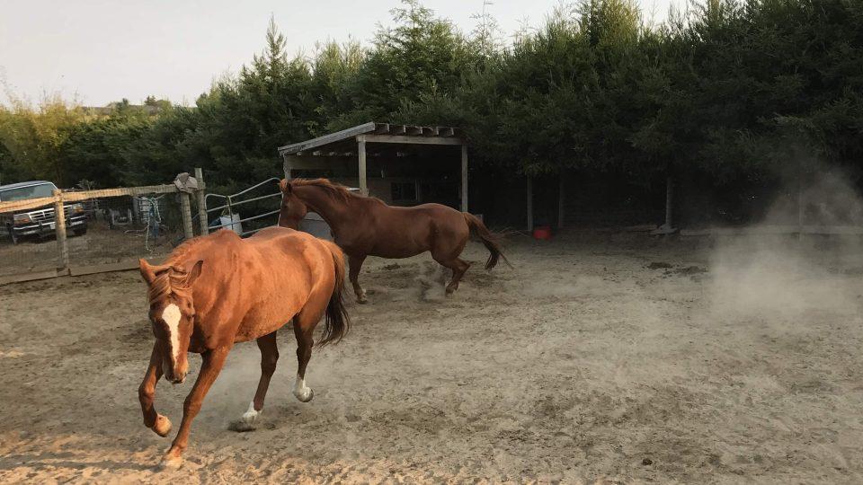 Koně, které Susan Hornsteinová zachránila před porážkou