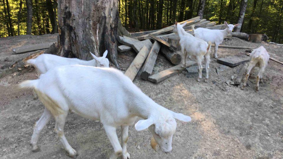 Kozy pana Arména