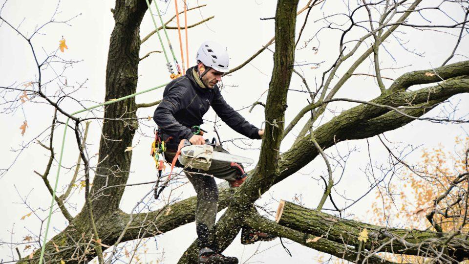 Arborista ořezává památný dub v Kuníně