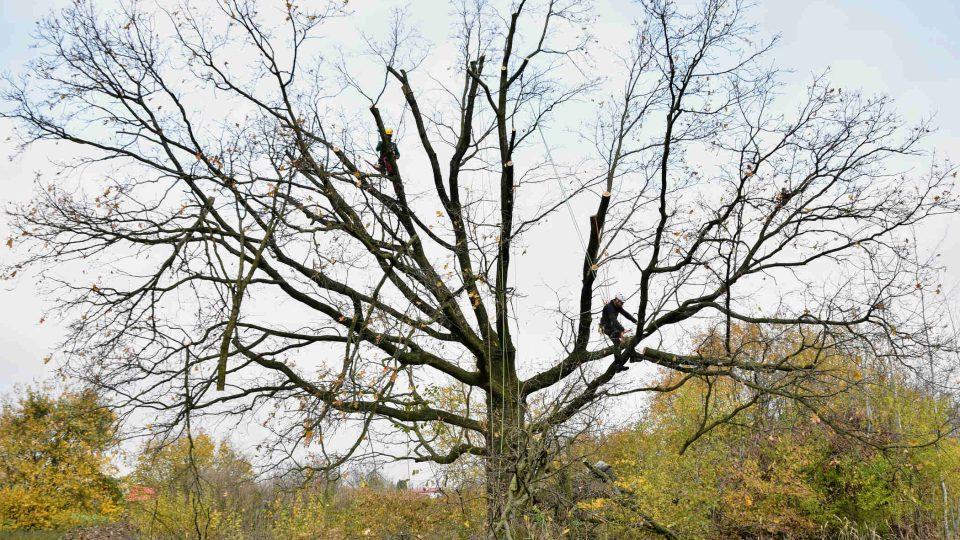 Korunu dubu museli výrazně zmenšit stromolezci