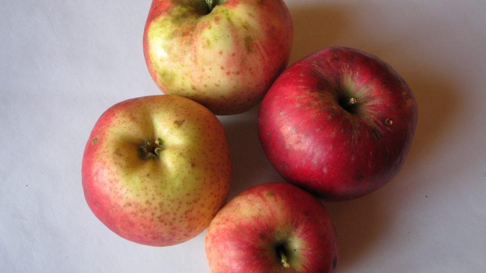 Jablko odrůdy jabloně Gaskoňské šarlatové