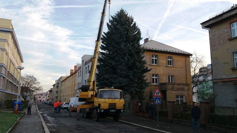 Kácení vánočního stromu v Jiráskových sadech v Kutné Hoře