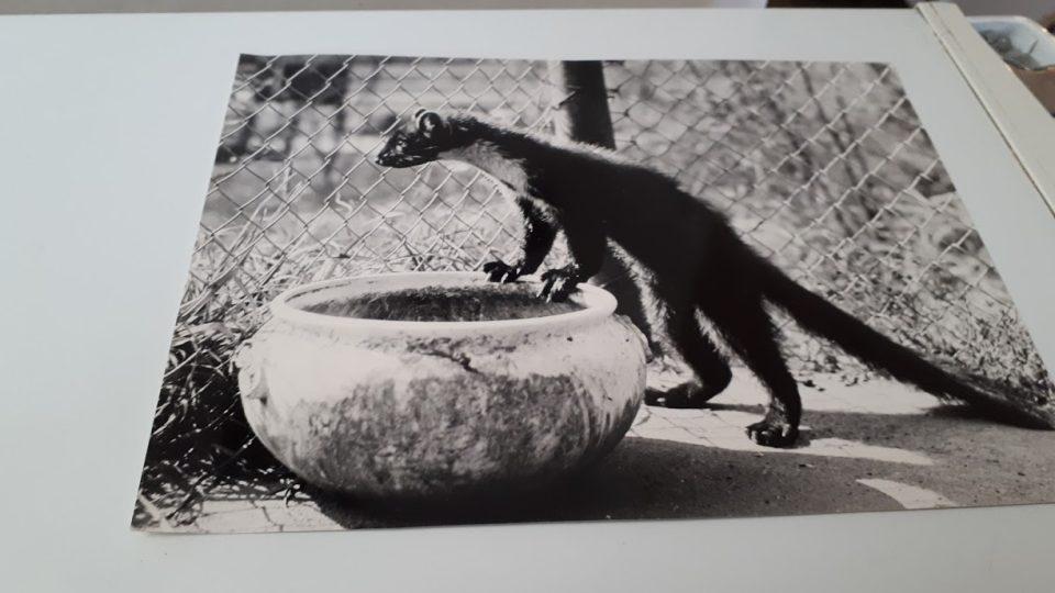 Zookoutek v Kladně nejprve zabydlela menší zvířata - fretka, myši, morčata a liška