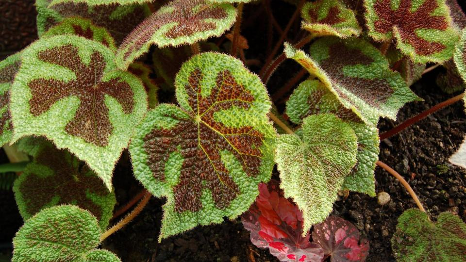 Begonia masoniana potřebuje substrát bez vápníku, nevadí jí málo slunce, má však raději vlhčí vzduch