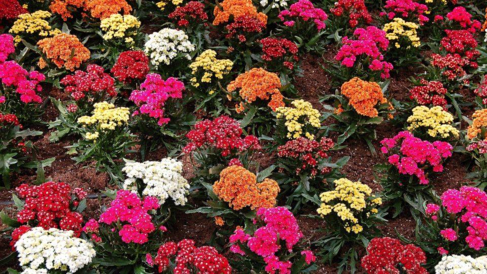 Kalanchoe, kolopejky. Tučnolisté rostliny, které se okolo Vánoc objeví v mnoha odrůdách