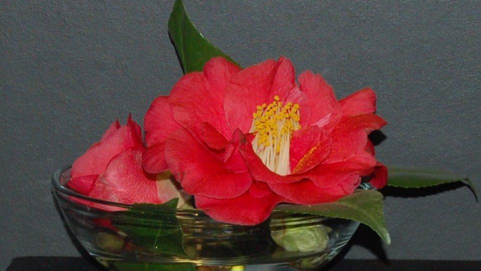Kamélie milují vlhký vzduch a chladno, asi 15 stupňů. Květy rády opadávají, ale zdobí i samostaně, v misce s vodou
