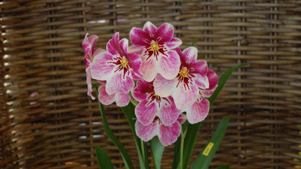 Orchidej Miltonia, hezká a voňavá