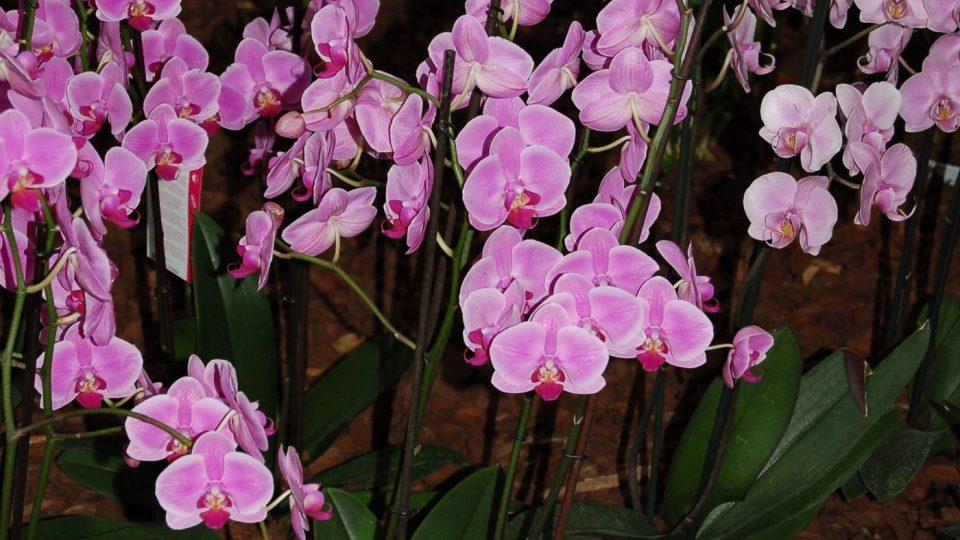 Phalaenopsis, česky můrovec, také může zdobit vánoční stůl