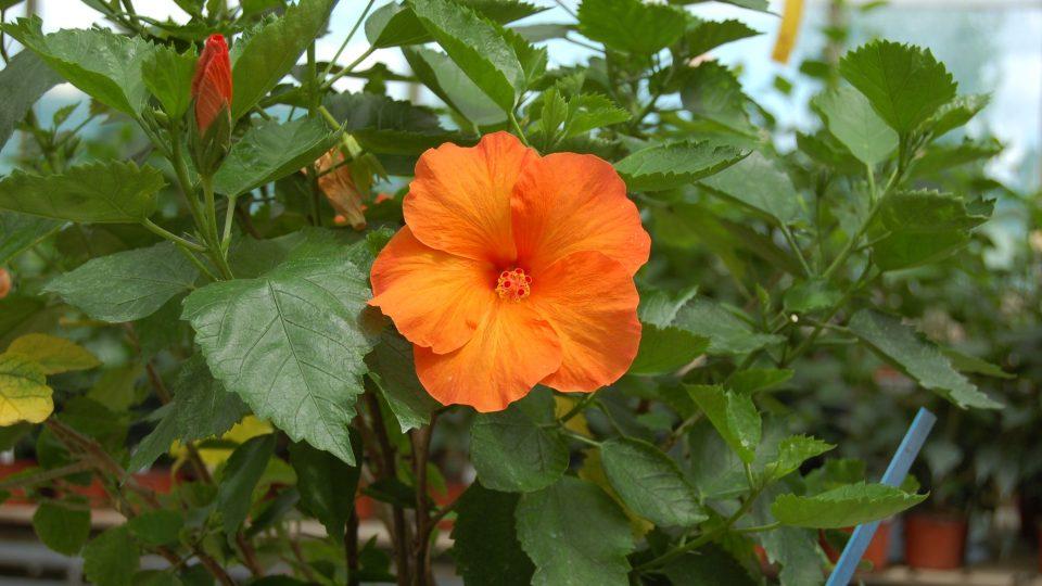 Ibišky všech barev a tvarů kvetou na nových výhonech