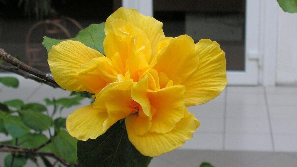 Nehnojený a neořezaný ibišek sice kvete i v zimě, ale opadávají mu listy a spolu s květy se vyskytují jen na konci větviček