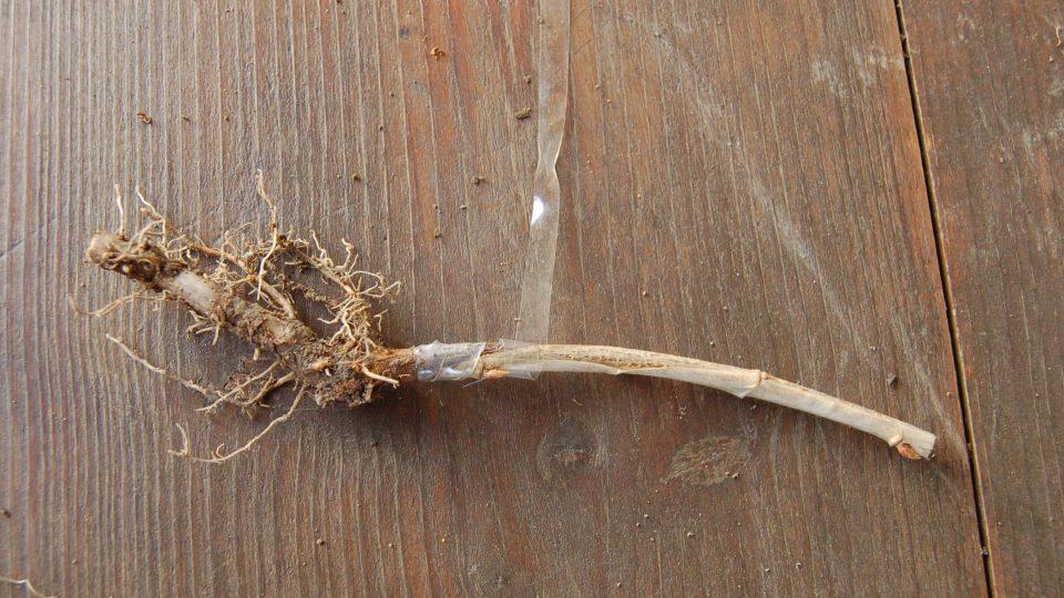 Roubování angreštu na kořen meruzalky v ruce, v teple v lednu