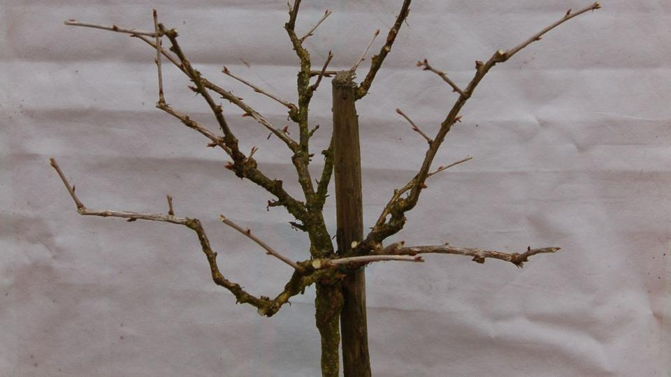 Stromek angreštu po řezu