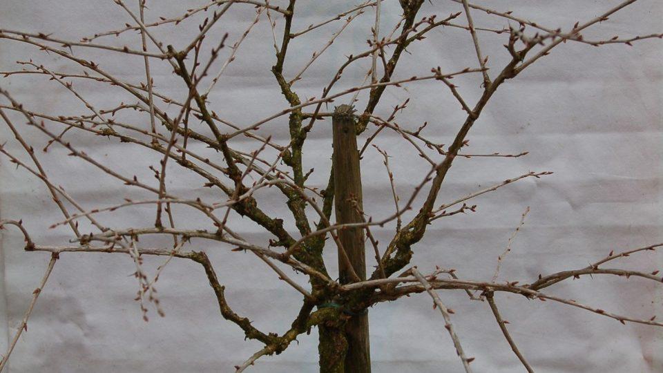 Stromek angreštu před řezem
