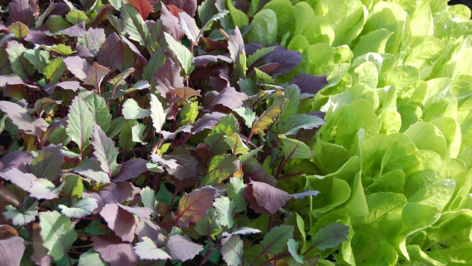 Kedlubny a salát před výsadbou