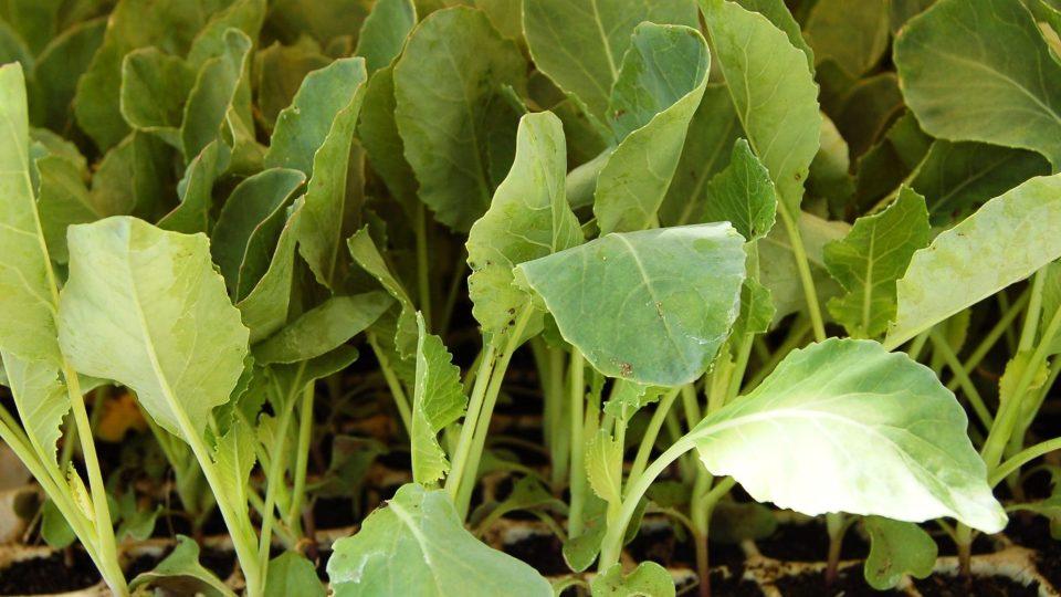 Solidní sadba květáku může narůst i v malých buňkách sadbovačů. Potřebné živiny dodáváme zálivkou