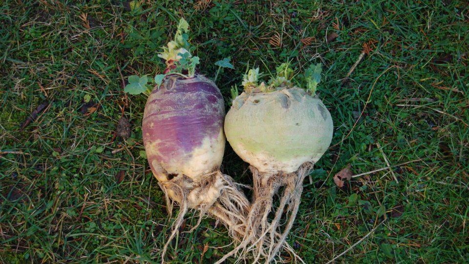 Vlevo tuřín jedlý Dalibor, vpravo krmný Dumlík