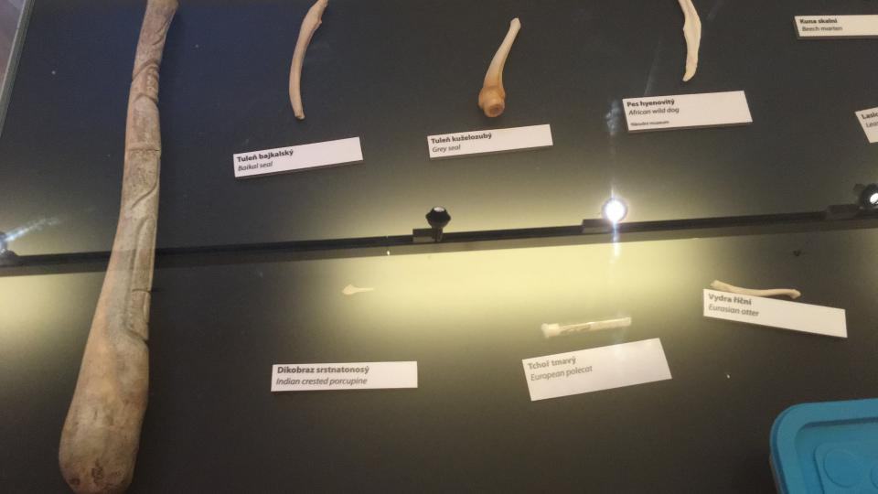 Penisová kost mrože (vlevo) měří kolem půl metru
