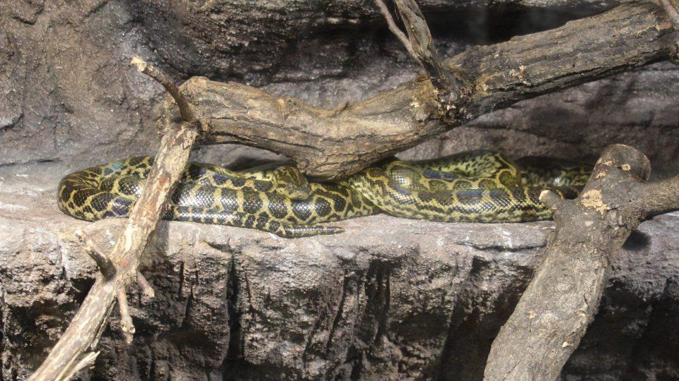 Anakonda patří mezi nejedovaté hady