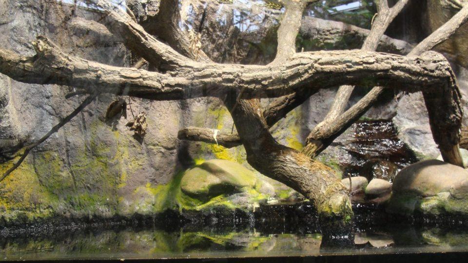 Arowana dvojvousá je živoucí fosílií