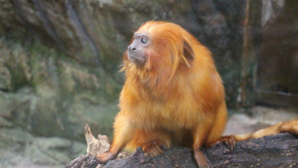 Lvíček zlatý, největší drápkatá opice
