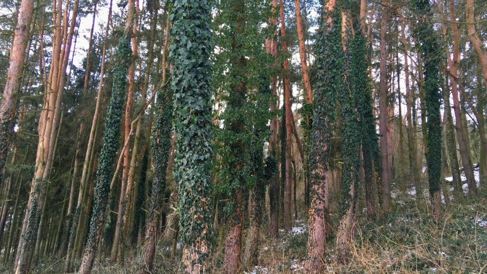 Břečťan lesu dodává zvláštní atmosféru