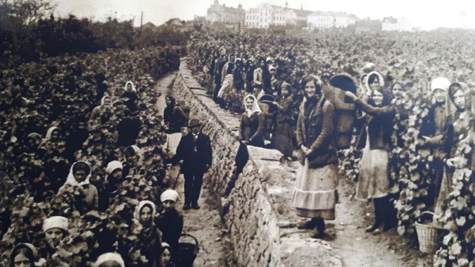 Vinařství má na Mělnicku dlouholetou tradici. Vinařské slavnosti zde pořádali Sokolové už v roce 1911