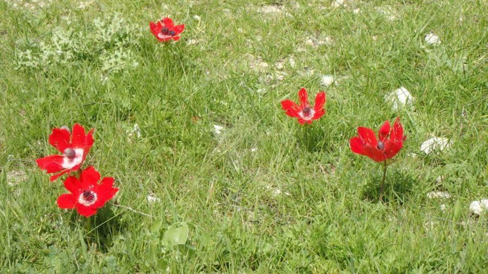 Jarní květy podél Abrahámovy stezky v Palestině