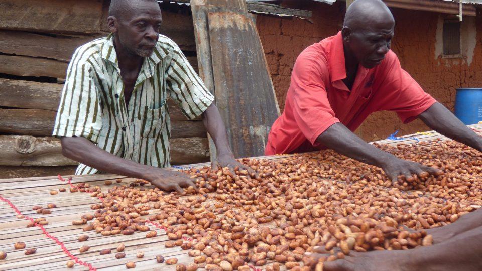 Staří Ghaňané suší kakaové boby