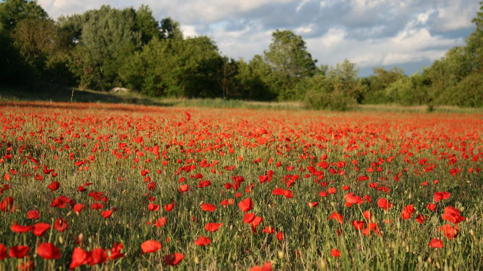 Provence, vlčí máky, pole, příroda