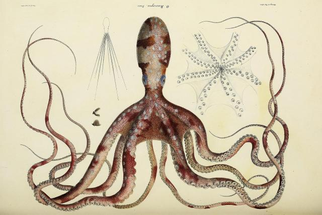 Chobotnice ze sekce Natural, general and specific history of living acetabuiferous cephalopods, and fossils